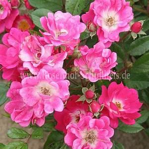 Rosen Düngen Im Frühjahr : orl ans rose rosen online kaufen im rosenhof schultheis rosen online kaufen im rosenhof ~ Orissabook.com Haus und Dekorationen
