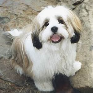 Line Dogs Chart Lhasa Apso Puppies Breeders Apsos