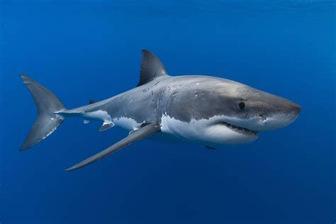Great White Shark Wallpaper 4K