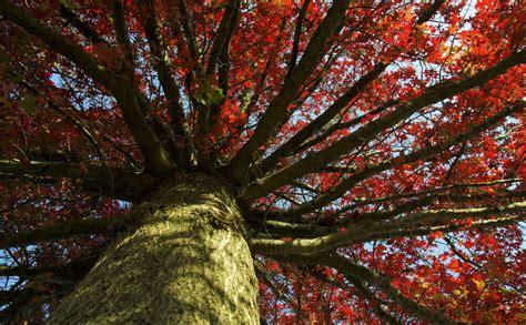Sarkanais ozols - viens no skaistākajiem Latvijā augošajiem kokiem. Kur un kāpēc to stādīt ...