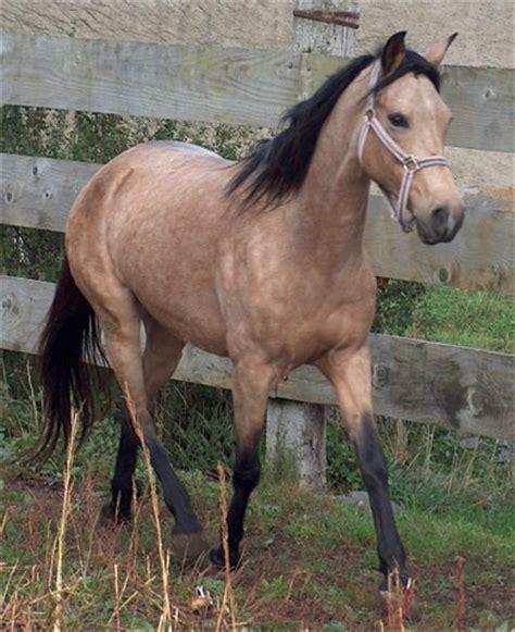 Araber Berber Pferd Kaufen