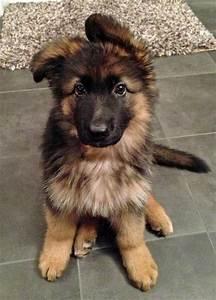 floppy ears. german shepherd puppy fluffy black cute dog ...
