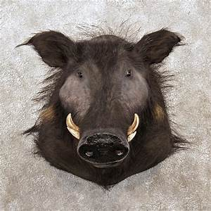 African Giant Forest Hog Mount For Sale #12021 - The