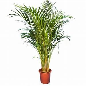 Plante D Intérieur : areca 140 150cm plantes et jardins ~ Dode.kayakingforconservation.com Idées de Décoration