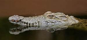 Crocodiles | Nature | PBS