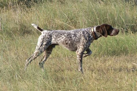 German Shorthaired Pointer Shedding by German Shorthaired Pointer Breed Information Puppies