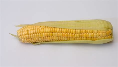 corn history the history of hybrid seed corn garden guides