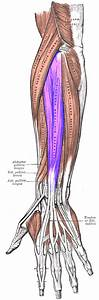 Extensor digitorum muscle - Wikipedia