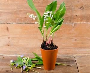Comment Planter Du Muguet : replanter le muguet du 1er mai comment faire d tente jardin ~ Melissatoandfro.com Idées de Décoration