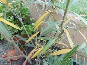 Oleander Hat Gelbe Blätter : hilfe mein oleander wird gelb grillforum und bbq ~ Lizthompson.info Haus und Dekorationen