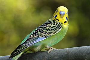 Parakeets and Budgies - Species Profile