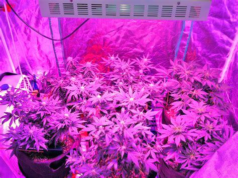 wiet kweken met led verlichting kweekspecialist