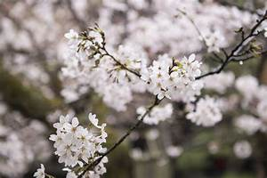 A Cherry Blossom Expert U2019s Guide To Flower Viewing