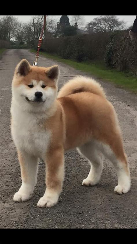 Japanese Akita Puppy For Sale Cardiff Cardiff Petshomes