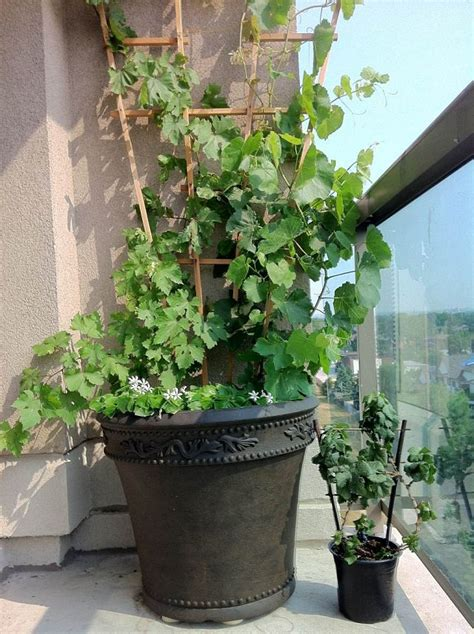 grape vine care and maintenance growing grapes in containers how to grow grapes in pots care balcony garden web