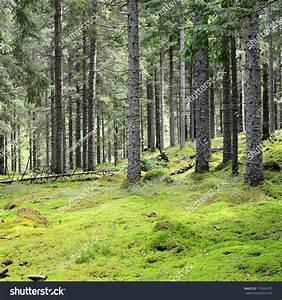 Dark Pine Forest Scene Stock Photo 119066575 - Shutterstock