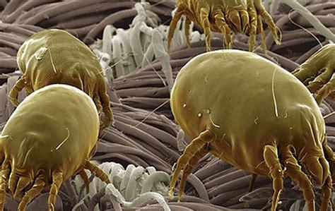 acari nel materasso acari materasso cosa sono e come eliminarli farbed
