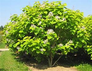Catalpa Bignonioides Aurea : catalpa bignonioides aurea golden indian bean tree practicality brown ~ Frokenaadalensverden.com Haus und Dekorationen