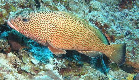 hind epinephelus guttatus fish reef serranidae geoffschultz grouper