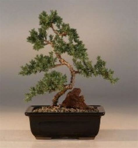 Juniper Bonsai Trees :: Karate Kid Juniper Bonsai Tree