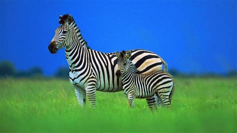 Zibra animal in the forest image   HD Wallpapers Rocks