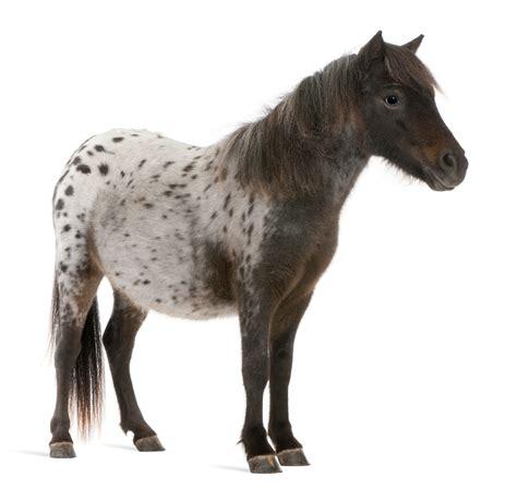 service miniature animal horse ada horses exception dog