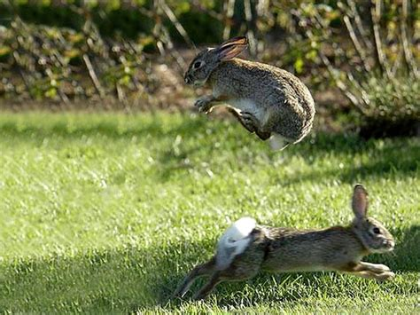 hopping bunny rabbits backgrounds bunnies hopping hares jumping jpg