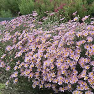 Dendranthema Hybride Balkon : chrysanthemum hybride rubellum clara curtis plantes et ~ Lizthompson.info Haus und Dekorationen