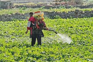 Plantation Fumigation  Peppers Plants Stock Image