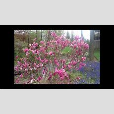 Best Flowering Shrubs  Magnolia Jane & Betty Youtube
