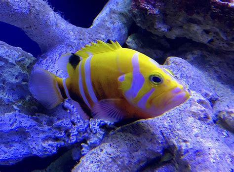 neptune grouper fish most expensive golden basslet