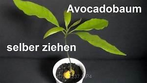 Aprikosenbaum Selber Ziehen : avocadobaum selber ziehen avocado z chten avocado einpflanzen how to grow avocado tree youtube ~ A.2002-acura-tl-radio.info Haus und Dekorationen