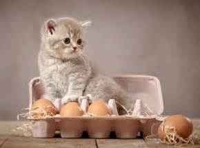 cat egg ask a vet can cats eat eggs catster