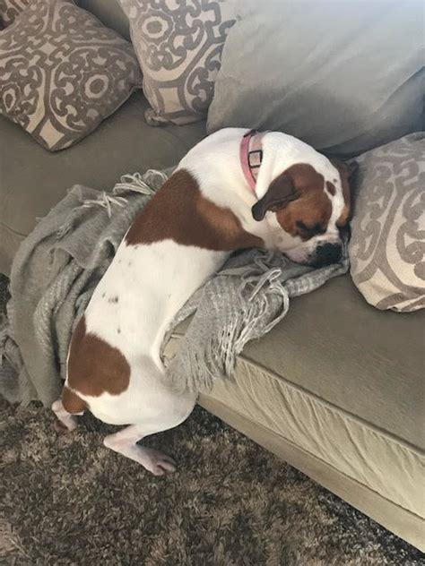 empecher un chien de monter sur le canapé un chien ruse pour monter sur le canapé holidogtimes
