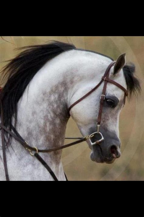horses horse arabian neck arched animal crossing head grey majestic shetland breeds animals most mare foal