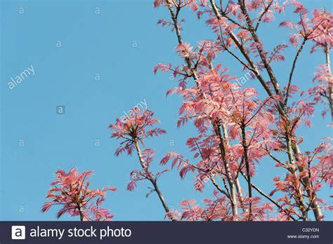 baum mit rosa blüten toona sinensis flamingo chinesische mahagoni flamingo baum mit rosa bl 228 ttern im fr 252 hjahr