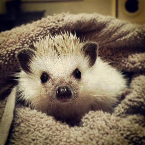 Heat L For Pygmy Hedgehog by Pin Picture Cake On