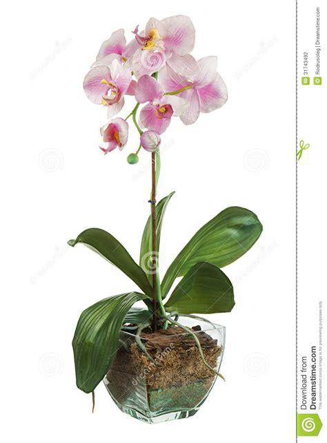 orchid 233 e dans le pot de fleurs en verre d isolement sur le