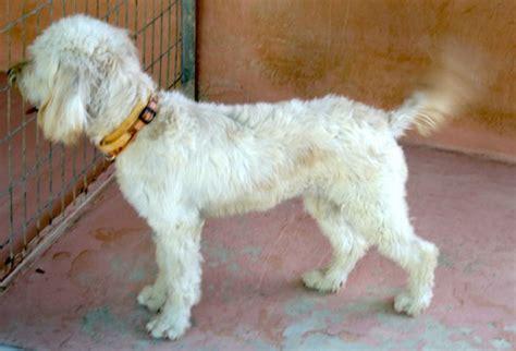 mitzi tibet terrier mix zeit fuer fellness