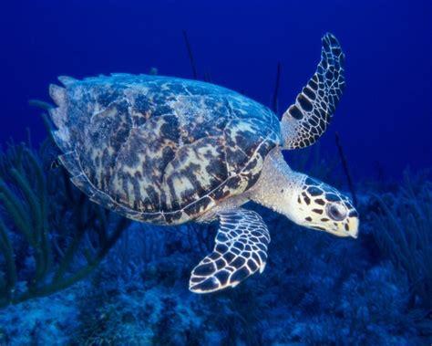sea turtle  hd wallpapers
