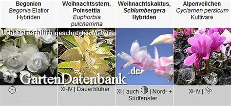 Zimmerpflanzen Datenbank Alpenveilchen by Zimmerpflanzen
