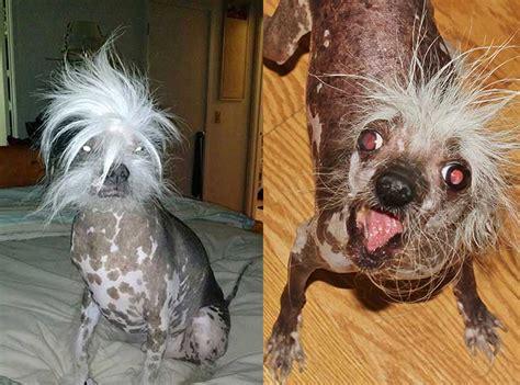 mangy mutts battle    title  worlds ugliest dog