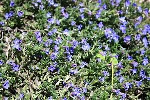 Bodendecker Blau Blühend Winterhart : immergr ne bodendecker als rasenersatz diese eignen sich ~ Michelbontemps.com Haus und Dekorationen