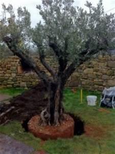 Planter Un Olivier En Pleine Terre : ou planter un olivier ~ Farleysfitness.com Idées de Décoration