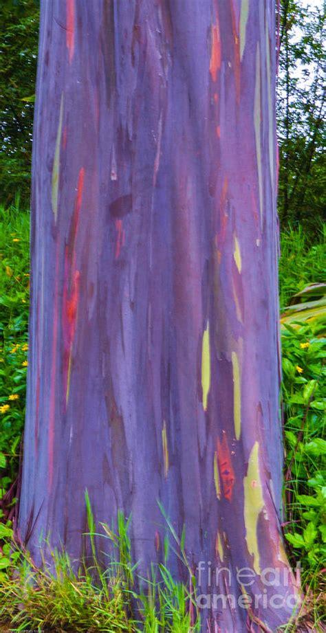 Rainbow Eucalyptus Photograph By Tracy Mcguire