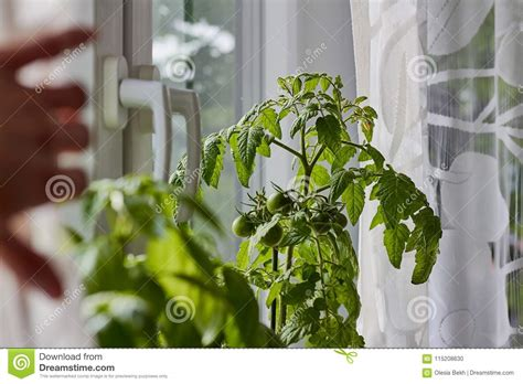Growing Tomatoes Indoors On A Windowsill by Green Tomatoes Growing Indoors On A Windowsill And A