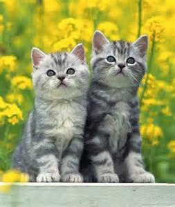 Kitten American Shorthair Cat