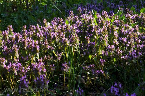 Sārtās panātres audze - Sārtā panātre (Lamium purpureum ...
