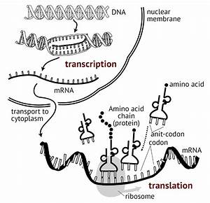 2 1 Essential Ideas  2 1 7 Dna Replication  Transcription And Translation