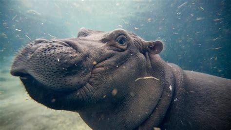 si e social hippopotamus mural at cincinnati zoo to feature its hippo fiona